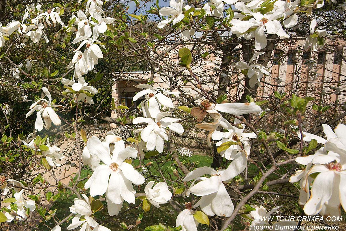 В Никитском ботаническом  саду в середине апреля расцвела магнолия Лебнера.