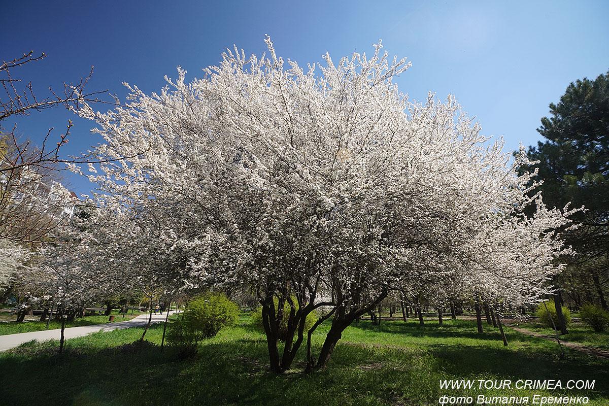 Цветущая дикая слива в Гагаринском парке Симферополя.