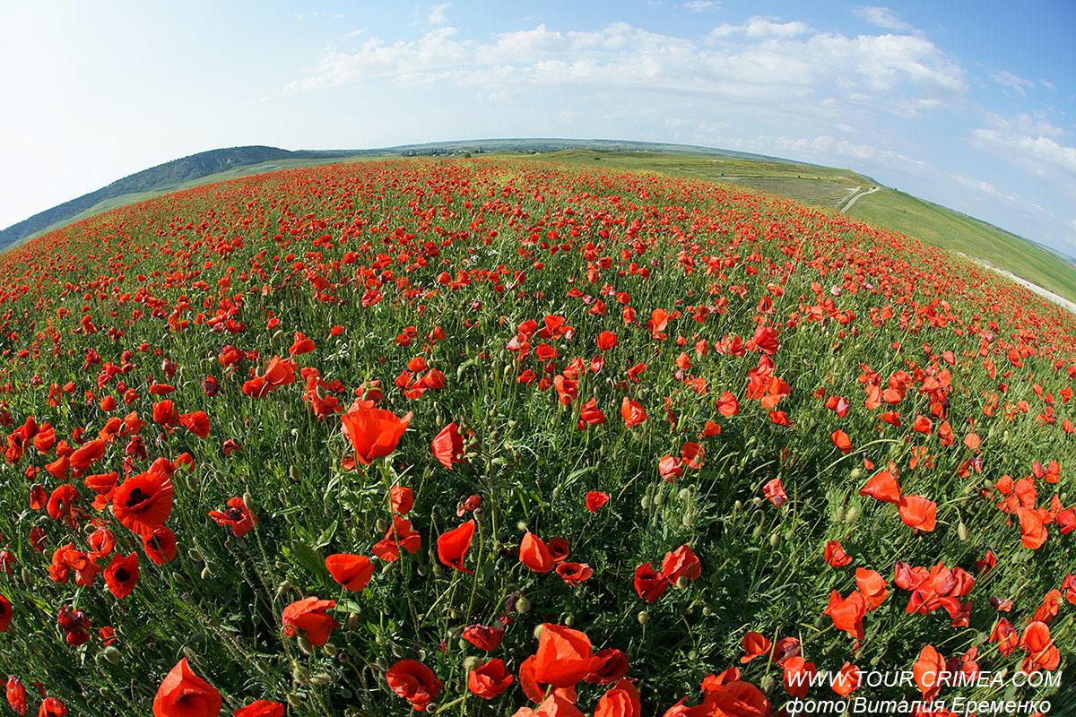 Планета маков в Крыму, полыхающая красно-алым цветом, удивительно прекрасна!