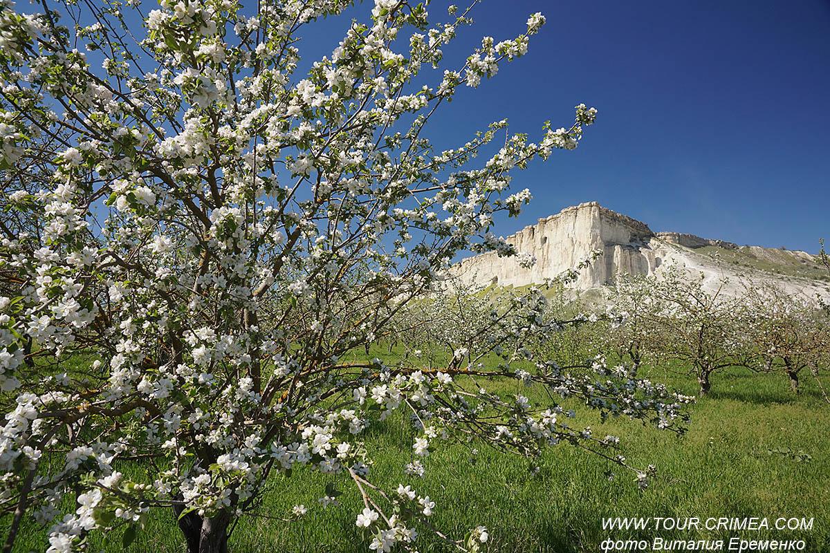 Цветущий яблоневый сад у Белой скалы. Май 2021