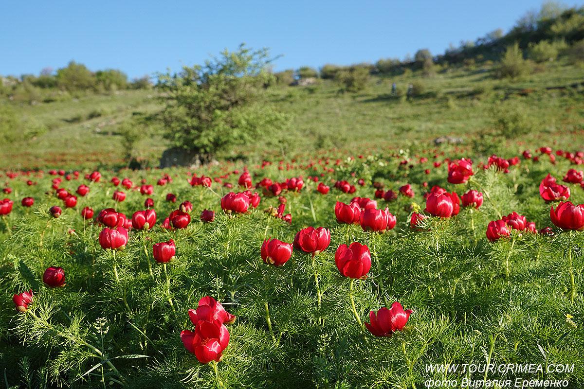 У Белой скалы, в Красной балке - пионовый ковер цветов!