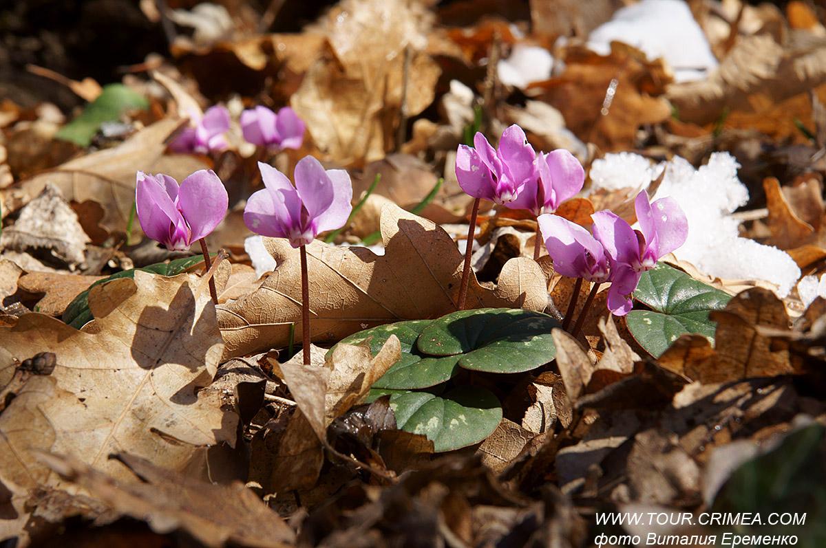 Да здравствует наступившая  весна!  Цикламен Кузнецова - один из самых красивых крымских первоцветов.