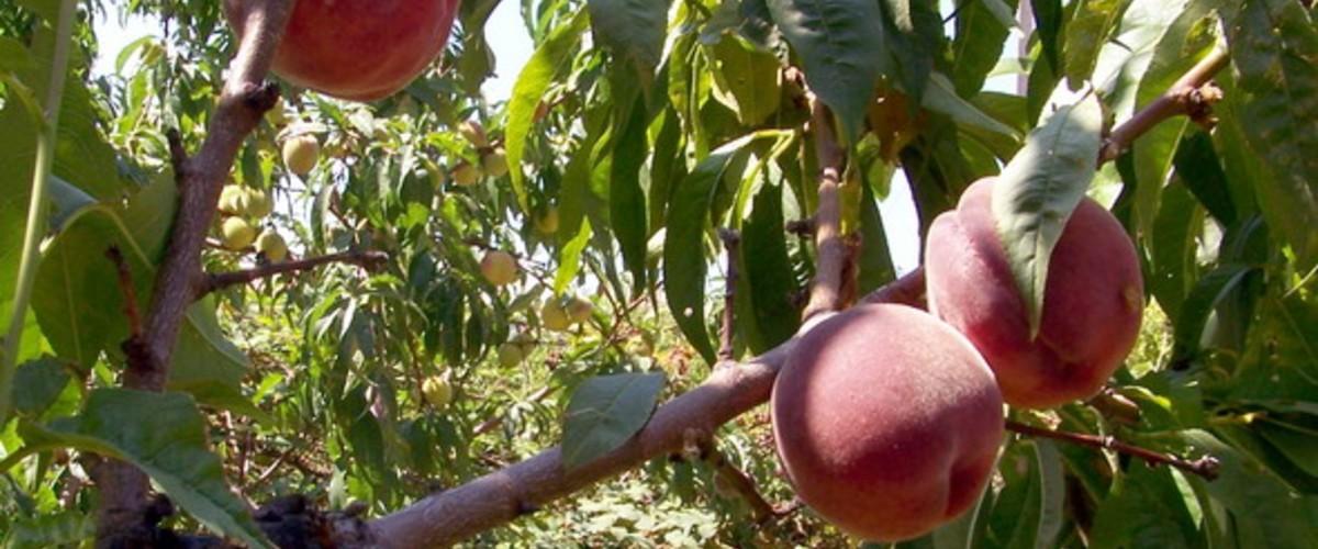 Крымские персики, сорта по срокам созревания, польза