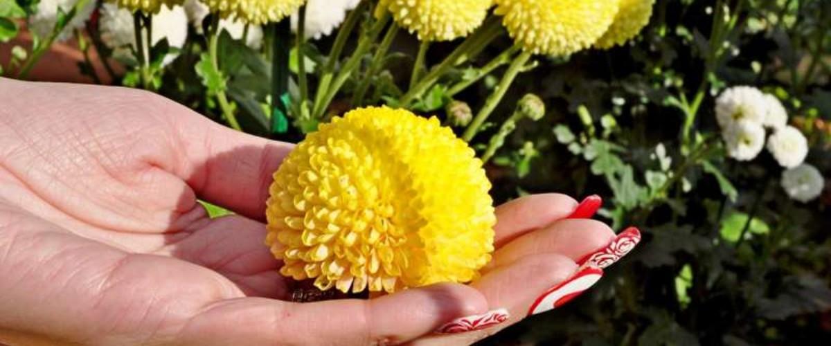 Сказочными Жар-птицами встретит гостей 65-й выставки хризантем Никитский сад