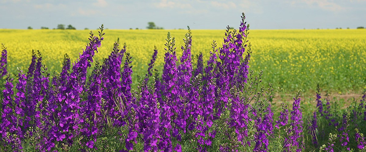 Цветущий дельфиниум - яркие фиолетовые брызги на фоне рапсовых полей.