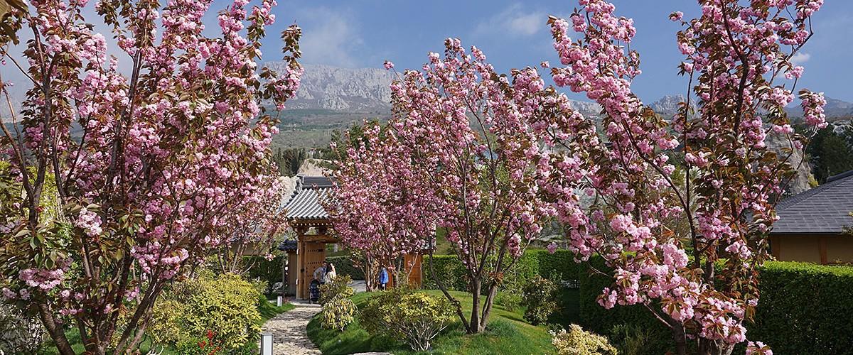 Волшебный первомай 2021 или цветение розовой сакуры в Японском саду курортного комплекса Mriya Resort & SPA.