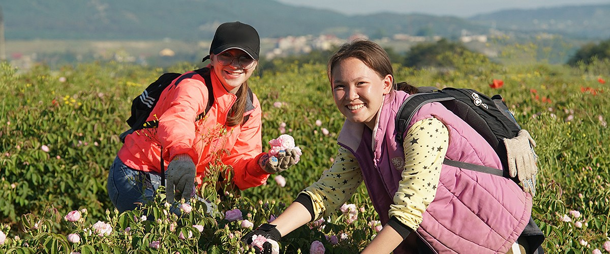 Сбор розы в с.Тургеневка (Бахчисарайский район). Благоухающее розовое поле - до горизонта!
