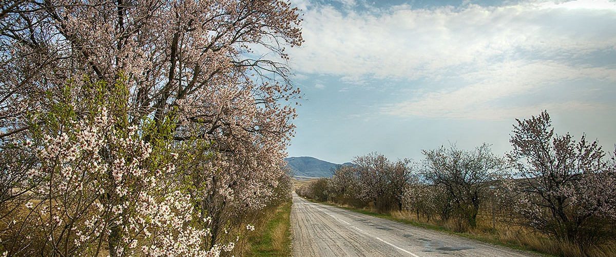 В Крыму на морском берегу уже вовсю цветёт и благоухает миндаль.