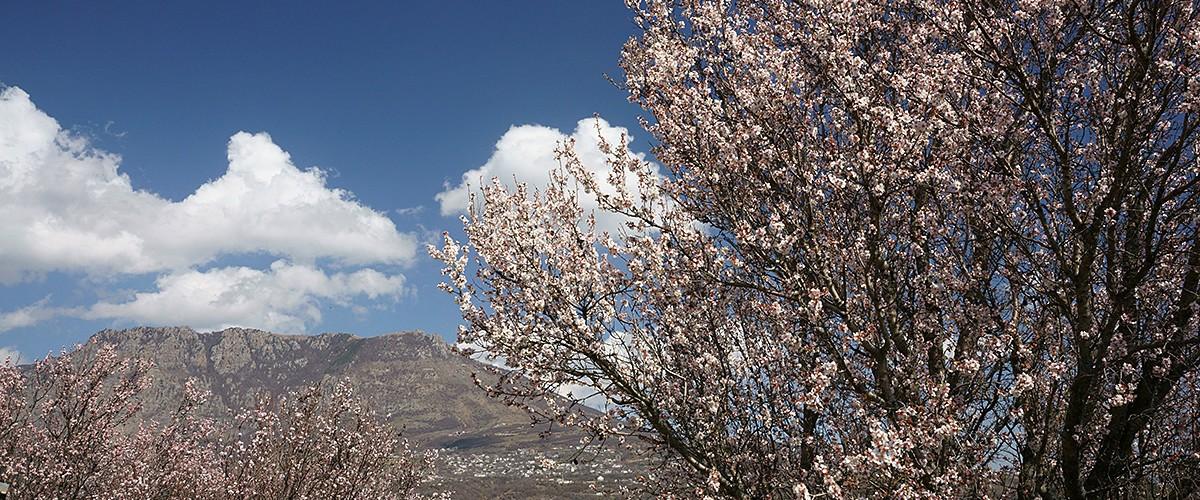 Цветущий апрельский миндаль у автотрассы  Симферополь-Ялта.  Апрель 2021