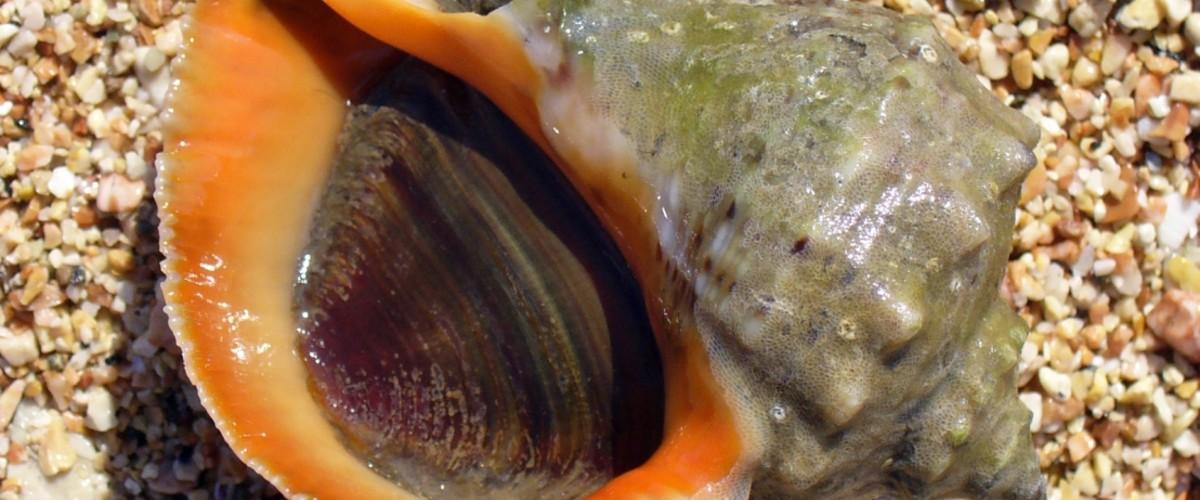 Готовим крымских моллюсков: рапана (морская улитка) и геликс (виноградная улитка)