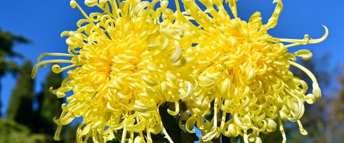 В Никитском саду выбрали королеву Бала хризантем