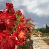 Июнь в Крыму - феерия цветущих роз!