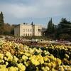 Бал хризантем 2020 в Никитском ботаническом саду - чудо крымской осени.