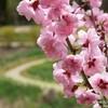 В Никитском ботаническом саду в начале февраля 2021г. зацвел японский абрикос муме