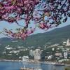 Майский Крым украшает багряник. Вид на цветущую Ялту.