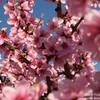 Цветение персика в Крыму продолжается! Апрель 2021