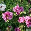Цветут садовые пионы. Ботанический сад им.Багрова КФУ в Симферополе.