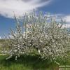 Цветущие яблони Бахчисарая. Сады в цвету! Май 2021г.
